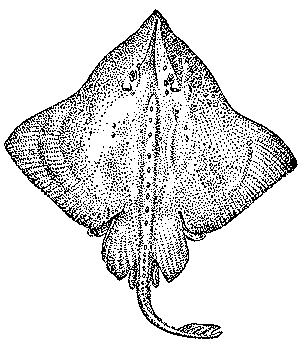 Скат в картинке черного моря